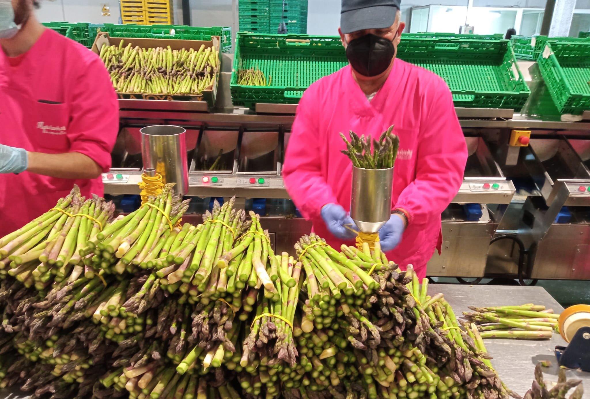 trabajador en las instalaciones de agrolachar trabajando el espárrago